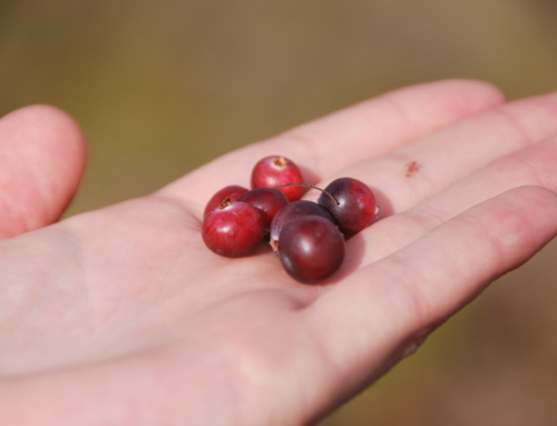 Meditation the Estonian way – picking berries, mushrooms and herbs in the woods